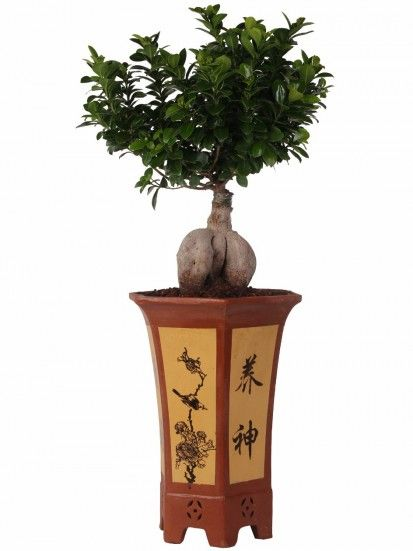 Bonsai Ficus Ginseng in vaso esagonale in terracotta. Ficus