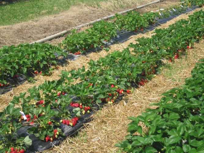 Bios: piano di concimazione per le fragole - AgroNotizie